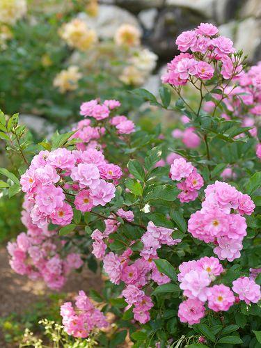 گلاب؛ تونر ارزان، محبوب و مغذی برای انوع پوست